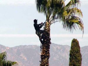 Pasadena tree trimmer